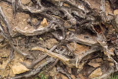 Tree roots and soil Stock Photography