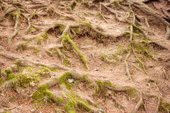 Tree roots with some moss. Top view of tree roots with some moss on the ground Stock Images