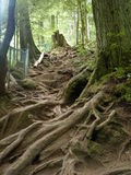 Tree Roots. Spiralling roots of trees in Lynn Canyon Park in North Vancouver Royalty Free Stock Photo
