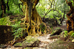Tree with roots and stairs in the jungle Stock Photography