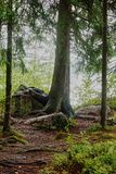 Tree with roots on stone. In the thicket of the forest a large tree grows, the roots of which are covered with a large stone. An imitation of the foot with the Stock Photography
