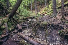 Forest in Slovak Paradise. Tree roots on the Sucha Bela hiking trail in park called Slovak Paradise, Slovakia royalty free stock photos
