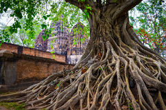 Tree roots in Sukhothai historical park with temple background Royalty Free Stock Photo