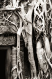 Tree roots at Ta Prohm Stock Photography