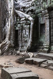 Tree roots in Ta Prohm Temple Stock Photography
