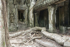 Tree Roots in Temple Ta Prohm Stock Images