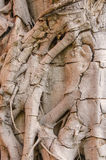 Tree roots texture for background Royalty Free Stock Photo