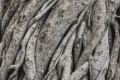 Tree roots texture and background. Bark texture royalty free stock photography