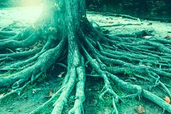 Tree roots Royalty Free Stock Photos