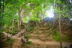 Tree roots. The roots of the trees make their way through the earth stock image