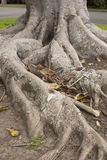 Tree Roots. Twisted and gnarled roots in a park Royalty Free Stock Photography