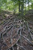 Tree roots up on the hill Stock Photo