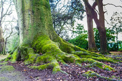 Tree Roots. On a very old tree stock photography