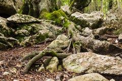 Tree roots Royalty Free Stock Photo
