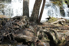 Tree roots and waterfall Royalty Free Stock Images