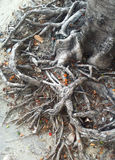 Tree roots. The wonderful nature line shape Royalty Free Stock Photography