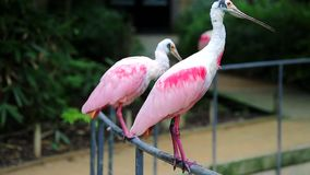 Tree Roseate Spoonbill Standing On Metal Fence. Tree Beautiful Roseate Spoonbill Birds Standing On Metal Fence stock video