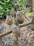 Tree rotten green tomatoes. Hanging over velour grasses on vegetable patch Royalty Free Stock Photography
