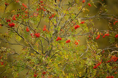 Tree of Rowan Berries (Sorbus aucuparia) Stock Image