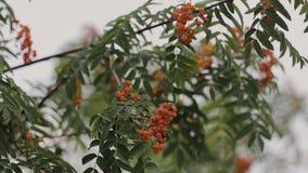 Tree rowan in summer ripe red berries, video. stock video