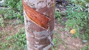 Tree Rubber Stock Photo