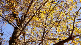 Tree with rustling leaves  in the Autumn Sun with wind. Rotation, sound. Top of Tree in the Autumn Forest with wind. Rotation, sound stock footage