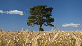 Tree in a rye field. A scots pine in the middle of a rye field Royalty Free Stock Image