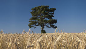 Tree in the rye field. A tree standing in the centre of rye field Stock Photo