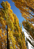 Tree's in Autumn. Of the South Island New Zealand Royalty Free Stock Photos