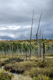 A Tree's Final Days. Dead lumber standing in the middle of a marsh while a storm rolls in Stock Images