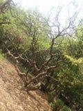 The tree`s name of lal golachi, botanical garden in Bangladesh. stock image