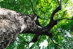 Tree's radiated branch. Tree's brach stretch in radiation, sun shine through green leaves Royalty Free Stock Photography