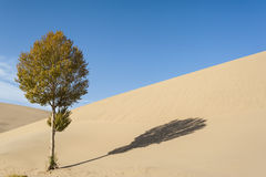A tree and it's shadow on the dune Royalty Free Stock Photos