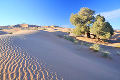 Tree in Sahara desert Stock Images