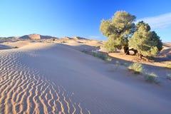 Tree in Sahara desert Stock Images