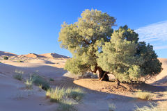 tree in Sahara desert Stock Photography