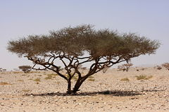 Tree in the Sahara Royalty Free Stock Photography