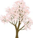 Tree sakura. On a white background Stock Photos