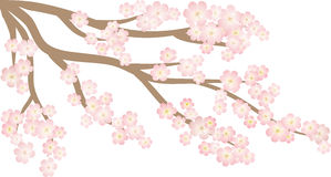Tree sakura Royalty Free Stock Photos