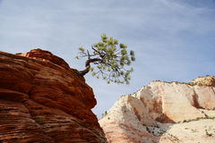 Tree on sandstone rock Royalty Free Stock Image