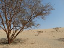 Tree in the sandy desert. Tree in the sandy Saudi Arabian desert with blue skies in the background Royalty Free Stock Image
