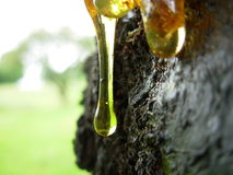 Tree sap. Bleeding out of a old apple tree a warm summer day Royalty Free Stock Images