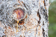 Tree Sap Royalty Free Stock Images