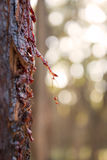 Tree Sap. Red sap from a Stringybark eucalyptus tree in Australia Royalty Free Stock Image