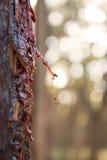 Tree Sap Royalty Free Stock Image