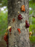 Tree sap. Various colours of tree sap in Zambia Royalty Free Stock Photos