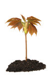 Tree sapling. In soil against white Royalty Free Stock Photography