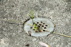 Pine tree growing in a drain Royalty Free Stock Photography