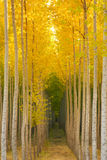 Aspen Tree Grove Yellow Fall Seasonal Autumn Color. A stand of trees begins to change colors due to the fall cold temperatures Royalty Free Stock Photos
