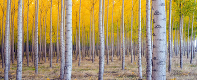 Tree Saturated Fall Season Yellow Panoramic Pic Royalty Free Stock Images